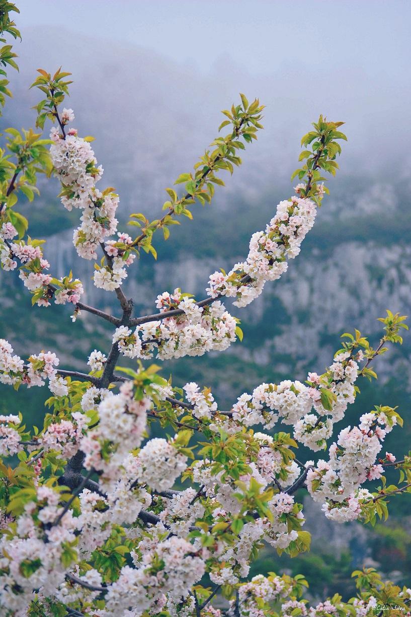 Valle de la Gallinera_Cerezos en Flor (8)