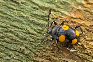 Fungus beetle (Eumorphus westwoodi) - DSC_7428