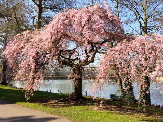 Kew Gardens Prunus Subhirtella Pendula Rubra April 2015