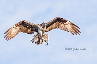 Osprey displays catch