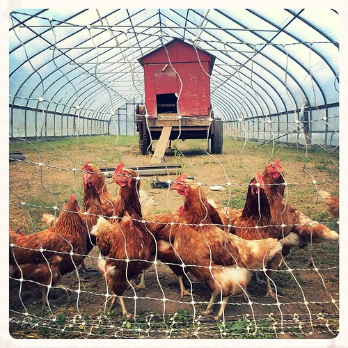 Doing their Chicken Dance #brookfieldfarm #amherst #amherstma #southamherst #chickens #farmlife