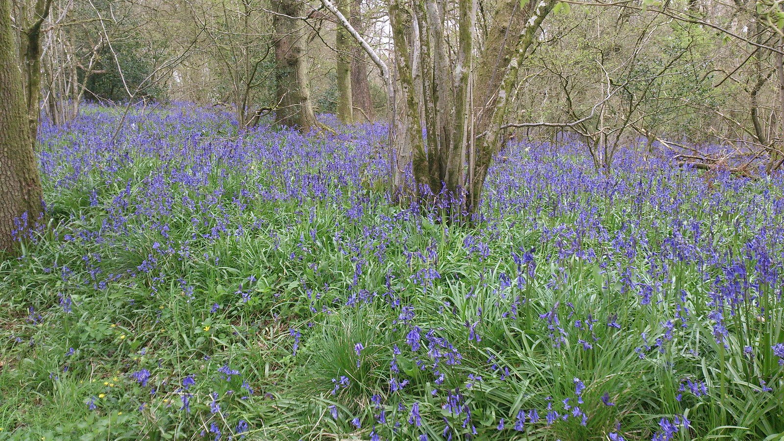Bluebells in Withy Copse (I) SWC Walk 127 Pewsey Circular