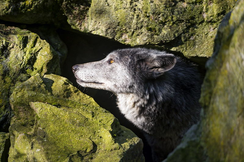 Wolf in the rocks