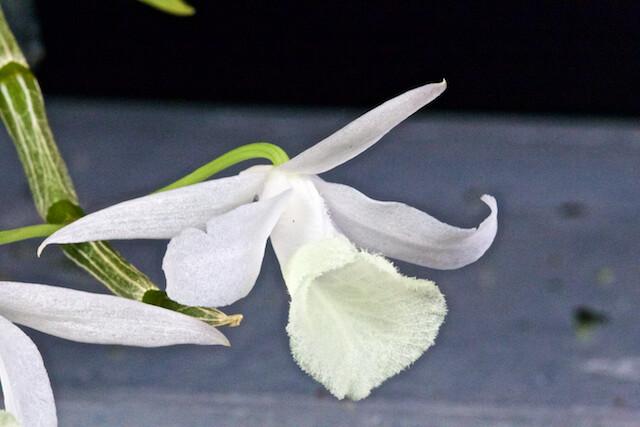 Dendrobium aphyllum var alba 16604805017_6efcd54cfc_z