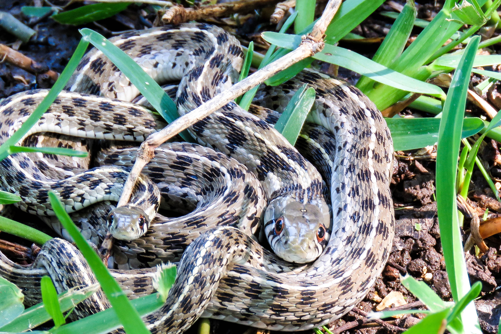 snakes in my yard flickr photo sharing