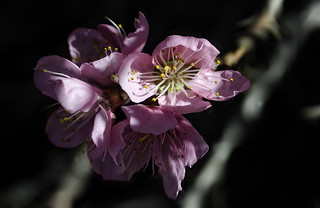 Peach Blossoms 6