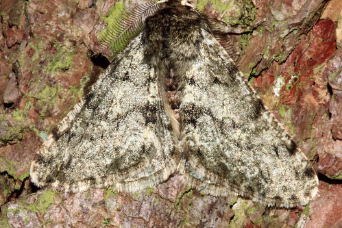Pale Brindled Beauty 3760