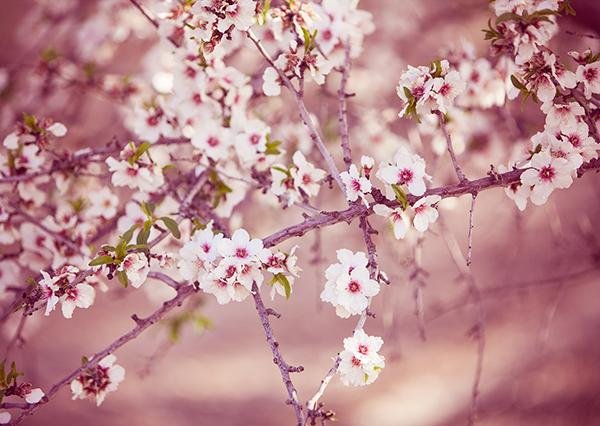 almond_blossom10