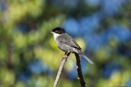 Toutinegra-de-cabeça-preta | Sardinian warbler (Sylvia melanocephala)