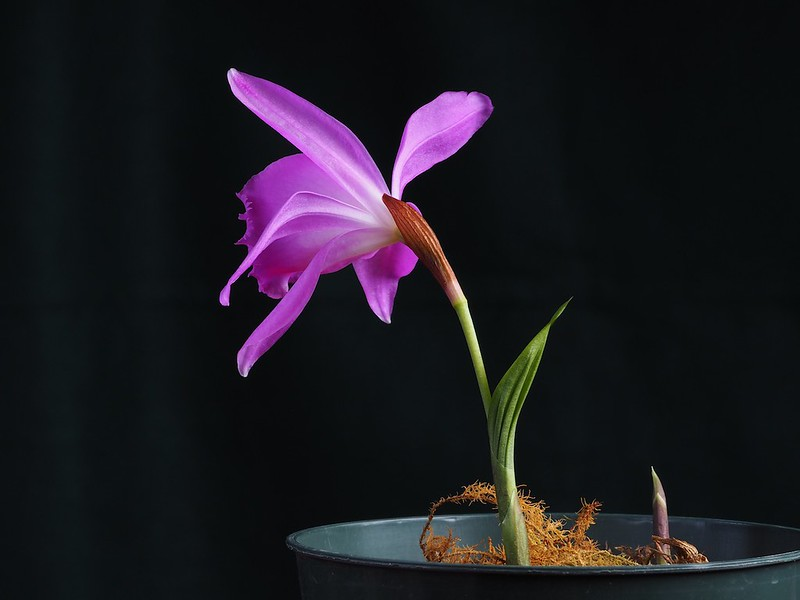 2 bulbs of Pleione aurita orchid very pretty flower