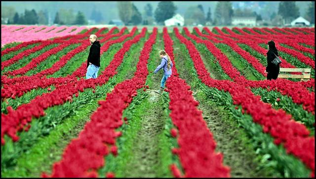 Tulips, Skagit Valley 2