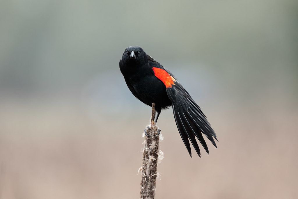 A male red-winged blackbird stretches while sitting atop a cattail