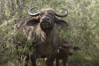 buffalo and calf alert in the bush