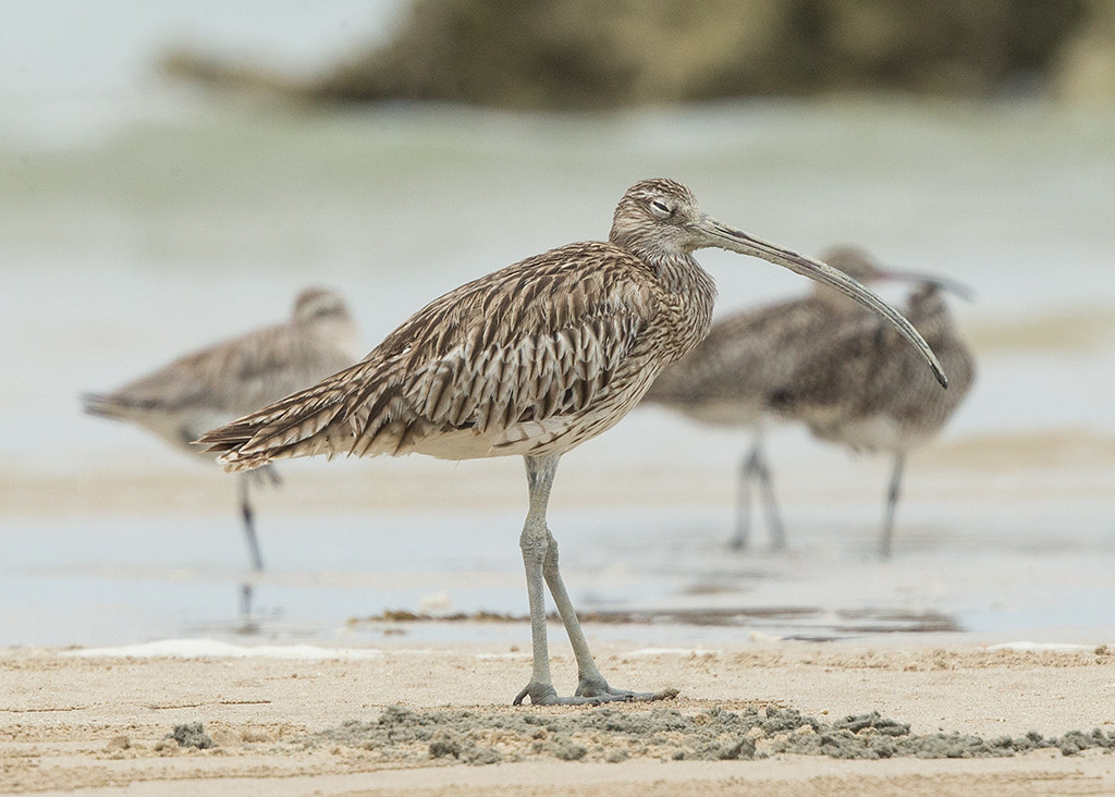 Eastern Curlew   Thailand