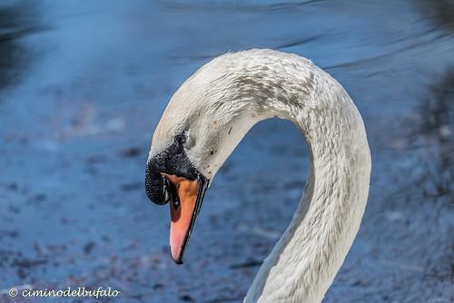 Cigno bianco | Cygnus Olor | White swan portrait.