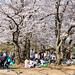 Yoyogi Park Sakura