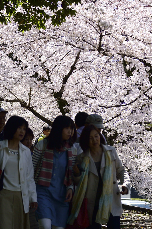 桜の京都 インクライン