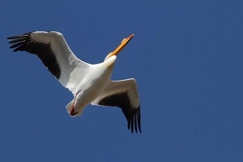 White pelican, McNary Wildlife Refuge