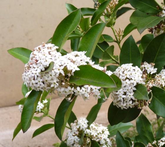 Acokanthera oblongifolia 17064791842_3b1f2376ec_o