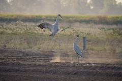 Brolga: Dust Dancing