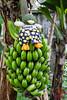 Banana Boxer Duck