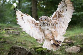 sibirian eagle owl