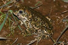 Natterjack Toad (Epidalea calamita) male