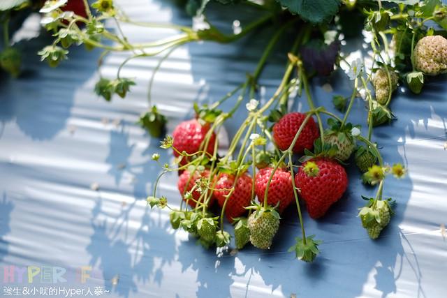 苗栗劉正男高冷草莓園  (4)