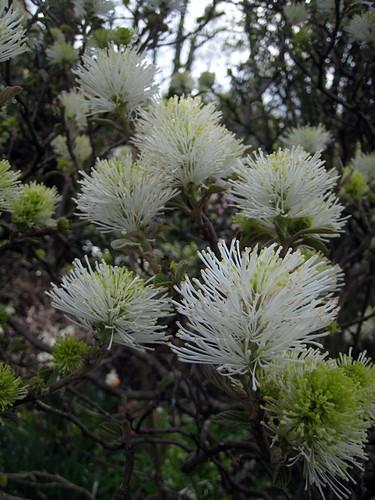 Fothergilla blooms at Streissguth Gardens