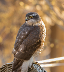 Sparrowhawk on chair