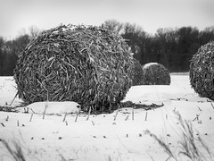 Baled cornstalks in snow