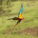 Hybrid Macaw ( Scarlet and Great Green Macaw) by Yamil Saenz