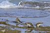 Dunlins: Grandview Nature Preserve in Hampton, Va on 3-24-15