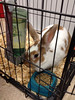 Just took in this owner surrender #rabbit that got too big. Cookie will see our vet and be spayed on Tuesday.
