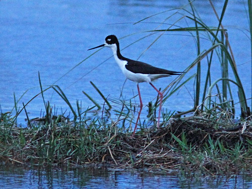 Black-necked Stilt 2-20150328