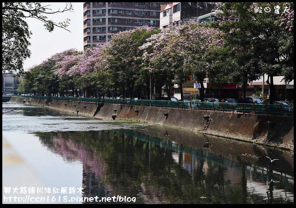 興大路綠川洋紅風鈴木DSC_2317