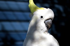 wing(0.0), cockatoo(1.0), animal(1.0), parrot(1.0), white(1.0), pet(1.0), sulphur crested cockatoo(1.0), fauna(1.0), close-up(1.0), cockatiel(1.0), beak(1.0), bird(1.0),