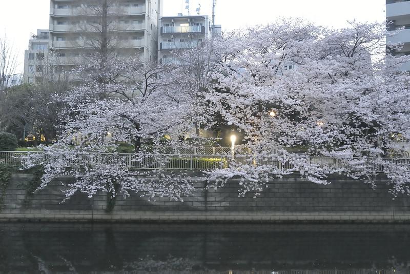 大崎の早朝桜