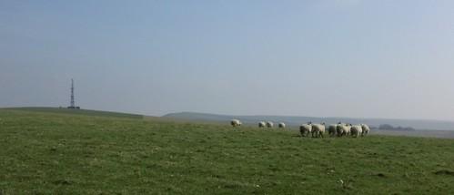 Sheep near radio masts