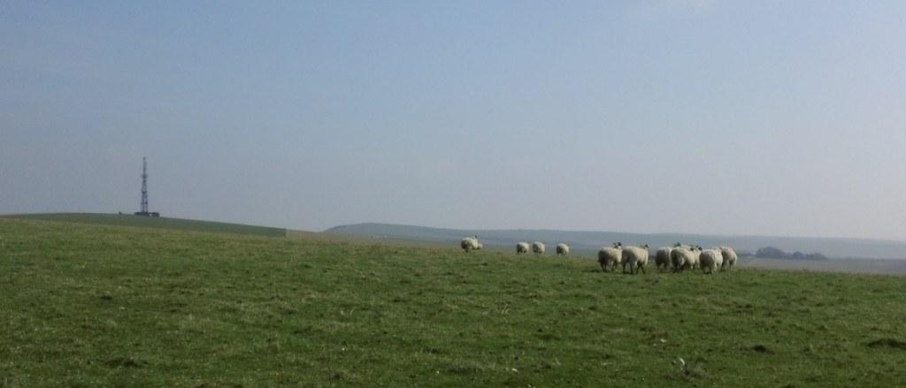 Sheep near radio masts on South Downs Way