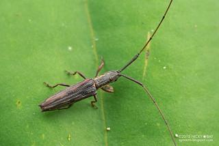 Longhorn beetle (Cleptometopus sp.) - DSC_4010