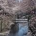 Sakura by tasanobu_ff