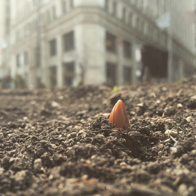 Start of spring as tulips begin to sprout to life from median gardens of dirt