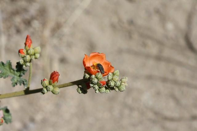 Desert Globemallow (Sphaeralcea ambigua)