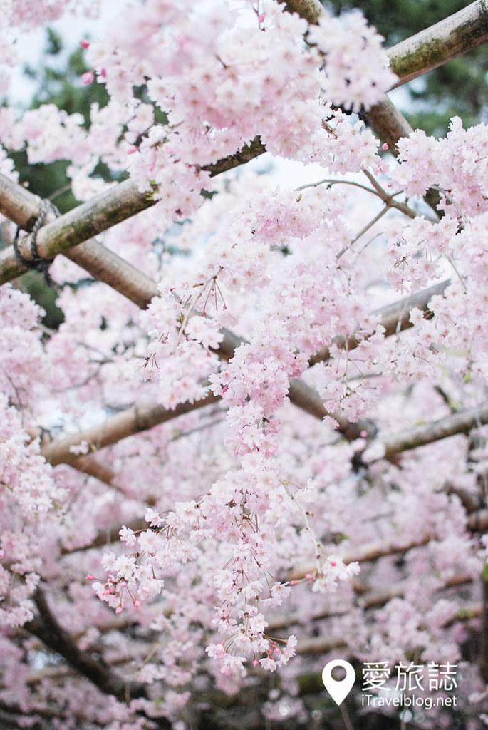 京都赏樱景点 半木之道 29