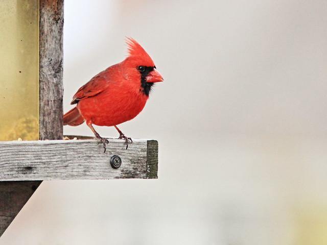 Northern Cardinal 3-20150422