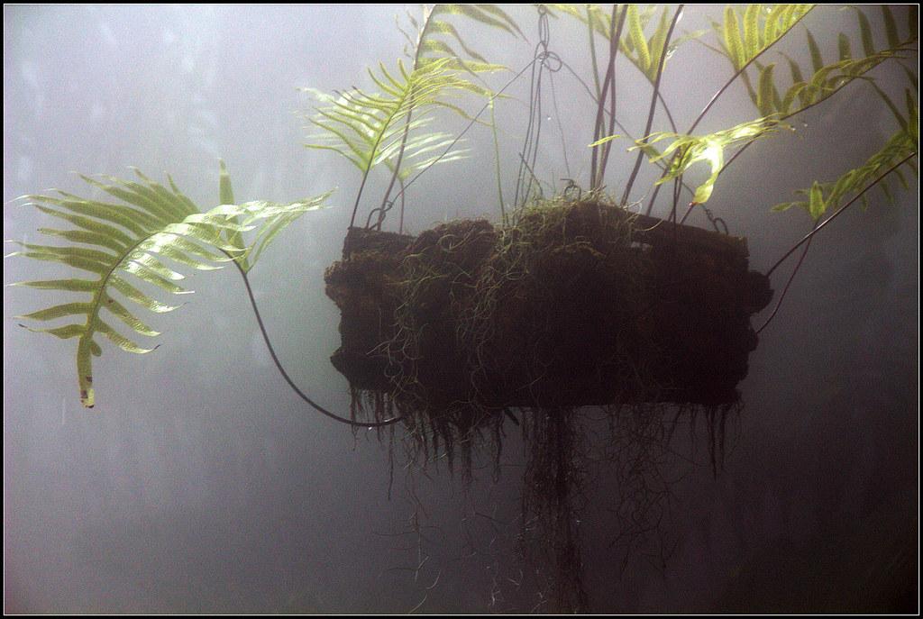 Helechos bajo una fina lluvia artificial