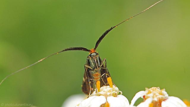 Adelidae · Langhornmotte IV (Adela australis?)