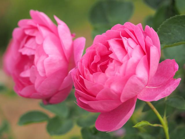 Photo:Rose, Royal Jubilee, バラ, ロイヤル ジュビリー, By T.Kiya