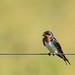 barn swallow by Rebecca Wolff